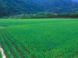 Rice Paddy, Kagoshima, Japan Photographic Print by Rob Tilley