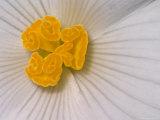 Begonia Flower Fotografisk tryk af Adam Jones