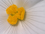 Begonia Flower Photographic Print by Adam Jones