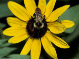 Golden Northern Bumble Bee on Black-Eyed Susan Photographie par Adam Jones