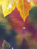 Vine Maple Leaf, USA Photographie par Stuart Westmoreland
