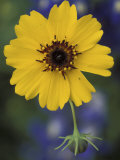 Plain Coreopsis, Marble Falls, Texas, USA Photographic Print by Claudia Adams