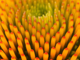 Pattern in Coneflower Photographic Print by Adam Jones