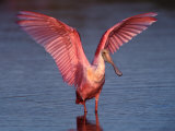 Roseate Spoonbill with Wings Spread Photographie par Charles Sleicher