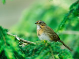 Lincoln's Sparrow Photographie par Adam Jones