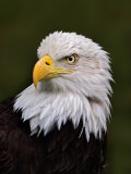 Adult Bald Eagle Fotografie-Druck von Adam Jones