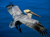 Male Brown Pelican in Breeding Plumage, Mexico Photographic Print by Charles Sleicher