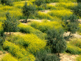 Olive Trees, Provence of Granada, Andalusia, Spain Photographic Print by David Barnes