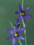 Blue Eyed Grass, Clarkston, Michigan, USA Photographic Print by Claudia Adams