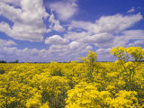Field of Golden Ragwort and Clouds Photographic Print by Adam Jones