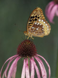 Great Spangled Fritillary on Pale Purple Coneflower Photographic Print by Adam Jones