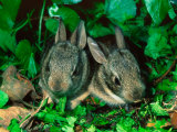 Baby Eastern Cottontail Photographic Print by Adam Jones