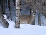 White-Tailed Deer Buck, Tettegouche State Park, Minnesota, USA Photographic Print by Maresa Pryor