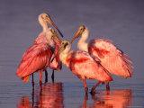 Four Roseate Spoonbills at Dawn Photographie par Charles Sleicher