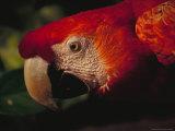 Colorful Macaw, Antigua, Guatemala Lámina fotográfica por John & Lisa Merrill