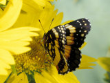 Border Patch Butterfly on Cowpen Daisy Photographic Print by Maresa Pryor