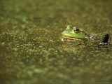 Green Frog Photographie par Adam Jones