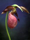 Pink Lady Slipper, St. Clair Nature Preserve, Michigan, USA Photographic Print by Claudia Adams