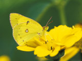 Orange Sulphur Butterfly Photographic Print by Adam Jones