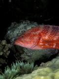 Coral Grouper Fotografisk tryk af Michele Westmorland