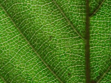 Close-up of Green Leaf, Jasmund National Park, Island of Ruegen, Germany Photographic Print by Christian Ziegler