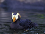 Tufted Puffin Photographic Print by Adam Jones