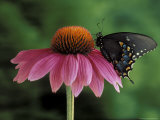 Spicebush Swallowtail on Mullin, Rochester, Michigan, USA Photographic Print by Claudia Adams