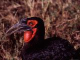 Southern Ground Hornbill, Kenya Photographie par Charles Sleicher