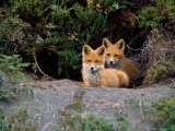 Den of Red Foxes, Kamchatka, Russia Photographic Print by Daisy Gilardini