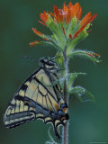 Tiger Swallowtail on Indian Paintbrush, Houghton Lake, Michigan, USA Photographic Print by Claudia Adams