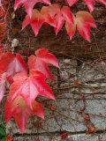 Red Ivy Growing on Stone Wall, Burgundy, France Photographic Print by Lisa S. Engelbrecht