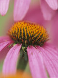 Close-up of Coneflower Photographic Print by Adam Jones