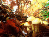 Mushrooms Growing Among Autumn Leaves, Jasmund National Park, Island of Ruegen, Germany Fotografie-Druck von Christian Ziegler
