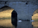 Swans in River, Stratford-on-Avon, England Photographic Print by Nik Wheeler