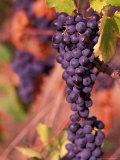 Vineyard, Herault, Languedoc, France Photographic Print by Nik Wheeler