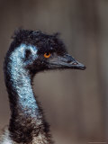 Emus, Flightless Bird Native to Australia Photographie par Charles Sleicher