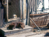 Resting Dog in Yanrakinnot, Providenia District Photographic Print by Daisy Gilardini