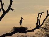 Jabiru on Nest at Dusk, Pantanal, Brazil Reprodukcja zdjęcia autor Theo Allofs