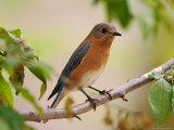 Female Eastern Bluebird Photographic Print by Adam Jones