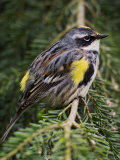 Male Yellow-Rumped Warbler Photographie par Adam Jones