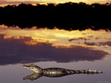 Caiman in Lagoon at Sunset, Pantanal, Brazil Photographic Print by Theo Allofs