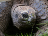 Aldabra Tortoise, Native to Aldabra Island, Near Seychelles Photographic Print by Adam Jones