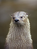 Otter Sanctuary, English Otter, Buckfast, Devon, England Photographic Print by Nik Wheeler