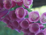 Foxglove Photographic Print by Michele Westmorland