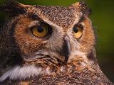 Great Horned Owl Fotoprint van Adam Jones