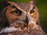 Great Horned Owl Photographic Print by Adam Jones