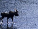Moose Bull Crosses River Photographic Print by Georgienne Bradley
