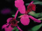 Magenta Orchid, Fiji Fotografisk tryk af Dee Ann Pederson