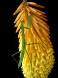 Praying Mantis on Red Hot Poker Plant, Rochester Hills, Michigan, USA Photographic Print by Claudia Adams