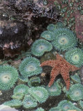 Giant Green Anemones and Ochre Sea Stars, Oregon, USA Fotografisk tryk af Stuart Westmoreland